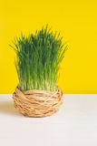 Grass pot on white board and a yellow background. Selective focus, toned image, film effect. Grass pot in sisal on a white board and a yellow background royalty free stock photo