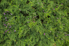Grass with purple flower backgrond. Royalty Free Stock Photos