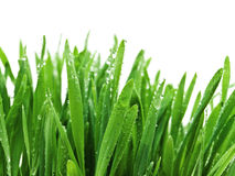 Grass after rain Royalty Free Stock Photo