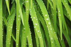 Grass after rain Royalty Free Stock Images