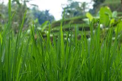 Morning dew on a rice field in Bali, Indonesia royalty free stock photography