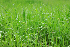 Grass with rain drops. Close up of green grass with rain drops Stock Photos