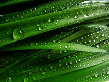 Grass with rain drops macro Royalty Free Stock Photos