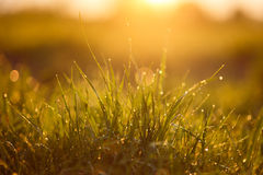 Grass with rain drops. At sunset Royalty Free Stock Photo
