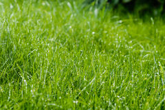 Grass after rain. Drops of water on the lawn after the rain Royalty Free Stock Image