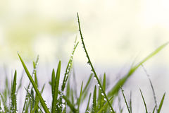 Grass with raindrops Stock Photo
