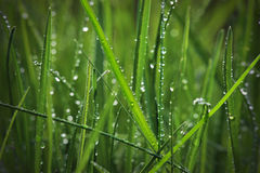 Grass with raindrops Stock Image