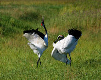 Grass on the red-crowned crane Stock Photos
