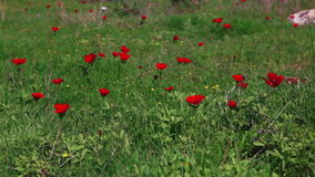 Grass with red flowers stock footage