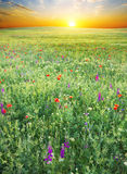 Grass and red poppies Royalty Free Stock Photography