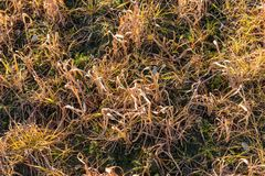 Grass reddish brown Died because of the herbicide. In France Stock Photo
