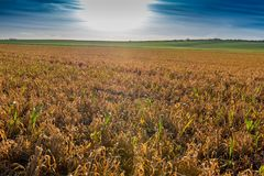 Grass reddish brown Died because of the herbicide. In France Stock Image