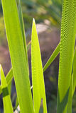 Grass reed plant Royalty Free Stock Image