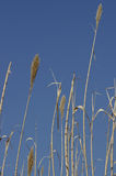 Grass reeds. Tall grass reeds against a blue background Royalty Free Stock Images