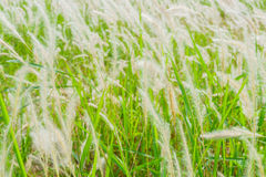 Grass reeds Stock Photos