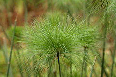 Grass and reeds Royalty Free Stock Images