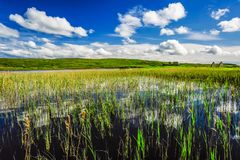 Reeds Rise from Loch Finlaggan. Grass reeds reach skyward through the fresh waters of Loch Finlaggan, Islay, Scotland Stock Image