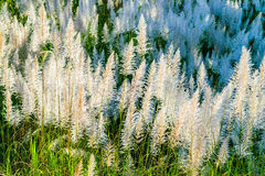 Grass of reeds. Reed grass along the canal in Thailand Stock Images