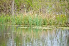 Grass reflecting in the lake Royalty Free Stock Image