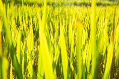 Grass & rice background. Grass and rice field background Stock Photo