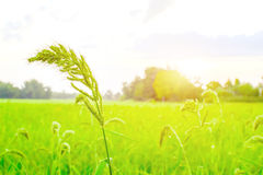 Grass in rice farm. The grass flower growth in green rice farm royalty free stock photos