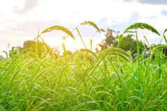 Grass in rice farm. The grass flower growth in green rice farm after raining stock photography