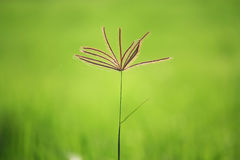 Grass in ricefield. Grass at sideway on  ricefield Royalty Free Stock Photo