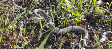 Grass or ringed snake on the ground Royalty Free Stock Photography