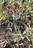 Grass or ringed snake on the ground Stock Photos