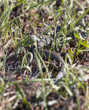 Grass or ringed snake on the ground Royalty Free Stock Image