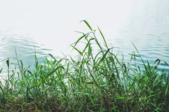 Grass and ripple of water. Grass and ripple of pond water royalty free stock photo