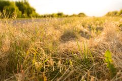 Grass beside the road, backlit. Grass beside the road, backlight Royalty Free Stock Image