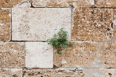 Grass in the in the rock crack Royalty Free Stock Photo