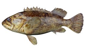 Grass Rockfish. Fish isolated on white background Stock Photos