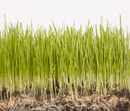 Grass with roots. On white background Stock Image