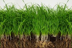 Grass from roots. On white background Stock Photography
