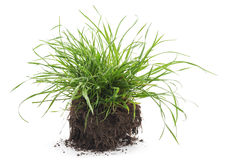 Grass with roots. Dreen grass with roots on a white background Stock Photography