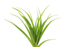 Grass with roots. Dreen grass with roots on a white background Royalty Free Stock Photos