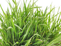Grass with roots. Dreen grass with roots on a white background Stock Photos