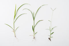 Grass with roots. Isolated on white Royalty Free Stock Photo