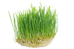Grass with roots. On white background Stock Photography