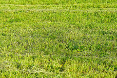 Grass. Rough cut green grass field meadow Royalty Free Stock Photography