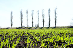 Grass in rows Royalty Free Stock Image