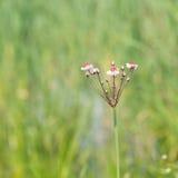 Grass rush Stock Photos