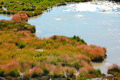 Grass and Rushes in Mud Volcano,Yellowstone national park Royalty Free Stock Photo