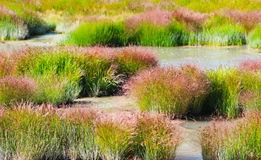 Grass and Rushes in Mud Volcano,Yellowstone national park Royalty Free Stock Images