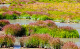 Grass and Rushes in Mud Volcano,Yellowstone national park Royalty Free Stock Photos