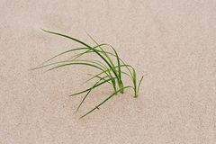Grass through sand Stock Images