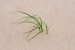 Grass through sand. Green grass growing through sand Stock Images
