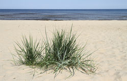 Grass in sand. Stock Photo